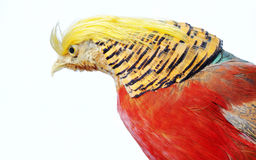 Golden Pheasant Stock Photos