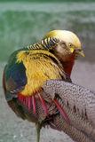 Golden Pheasant. Close-up of Golden Pheasant, asian tropical bird Royalty Free Stock Photography