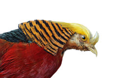 Golden Pheasant. Chrysolophus pictus Male Pheasant close-up head & feathers isolated on a white background royalty free stock images