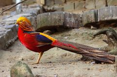 The golden Pheasant Royalty Free Stock Image