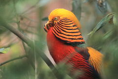 Golden pheasant Royalty Free Stock Photos