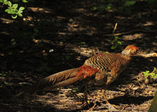 Golden pheasant. Adult female golden pheasant in shady woodland area Royalty Free Stock Image