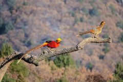 Golden pheasant adult and subadult. One Golden pheasant subadult and adult stands on tree trunk. Scientific name: Chrysolophus pictus Royalty Free Stock Images