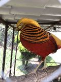 Golden pheasant stock photography