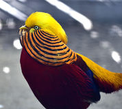 Golden Pheasant Royalty Free Stock Image
