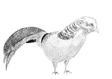 Golden pheasant bird sketch illustration Royalty Free Stock Photos