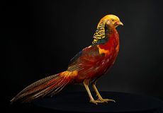 The golden pheasant. On black background Royalty Free Stock Photos