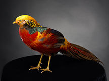 The golden pheasant Stock Photo