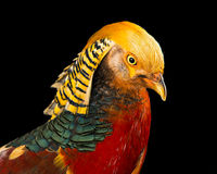 The golden pheasant Royalty Free Stock Photography