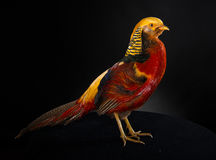 The golden pheasant Royalty Free Stock Images