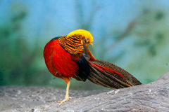 Golden pheasant on a branch Stock Photo