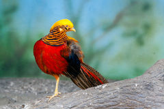 Golden pheasant on a branch Stock Photos