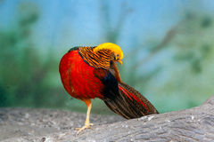 Golden pheasant on a branch Royalty Free Stock Photos