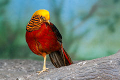Golden pheasant on a branch Royalty Free Stock Images
