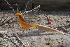 A Golden Pheasant. The golden pheasant or Chinese pheasant, (Chrysolophus pictus) is a gamebird of the order Galliformes (gallinaceous birds) and the family Stock Photos