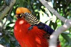 The Golden Pheasant or Chinese Phea. It is native to western China and Mongolia Stock Photos