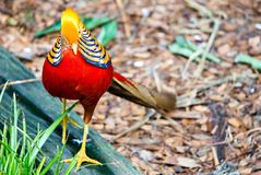 Golden pheasant Chinese pheasant Chrysolophus Pictus Royalty Free Stock Image