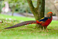 Golden Pheasant or Chinese Pheasant Stock Photos