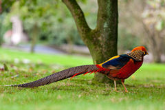 Golden Pheasant or Chinese Pheasant Royalty Free Stock Photos