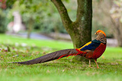 Golden Pheasant or Chinese Pheasant Stock Images