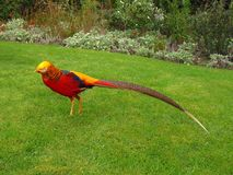 Golden pheasant Chinese pheasant Chrysolophus Pictus. Golden pheasant, Chinese pheasant, Chrysolophus Pictus strutting on a green lawn Stock Photos