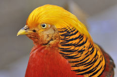 Golden Pheasant - Chrysolophus pictus Royalty Free Stock Photography