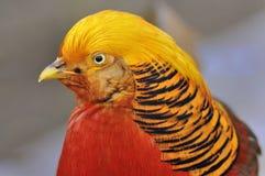Golden Pheasant - Chrysolophus pictus.  Royalty Free Stock Photography