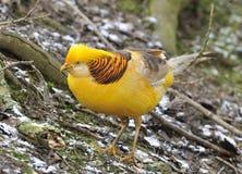 Golden Pheasant - Chrysolophus pictus.  Stock Images