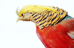 Golden Pheasant-Chrysolophus pictus Stock Images