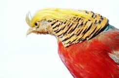 Golden Pheasant-Chrysolophus pictus.  Stock Images