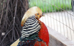 Golden pheasant, chrysolophus pictus. The beautiful bird golden pheasant - chrysolophus pictus Royalty Free Stock Photography