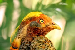 Golden Pheasant (Chrysolophus Pictus) Royalty Free Stock Photo