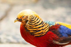 Golden Pheasant (Chrysolophus pictus). Headshot of colorful Golden Pheasant (Chrysolophus pictus Stock Images