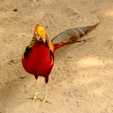 Golden pheasant (Chrysolophus pictus) Stock Image