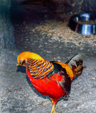 The Golden pheasant. Chrysolophus pictus. Royalty Free Stock Photography