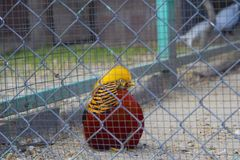 Golden pheasant. Chrysolophus pictus. The golden pheasant or Chinese pheasant Chrysolophus pictus is a gamebird of the order Galliformes gallinaceous birds and royalty free stock images