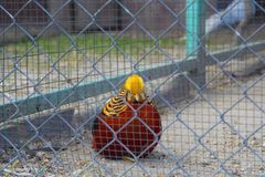 Golden pheasant. Chrysolophus pictus. The golden pheasant or Chinese pheasant Chrysolophus pictus is a gamebird of the order Galliformes gallinaceous birds and stock photography