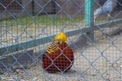 Golden pheasant. Chrysolophus pictus. The golden pheasant or Chinese pheasant Chrysolophus pictus is a gamebird of the order Galliformes gallinaceous birds and stock image