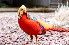 Golden Pheasant, Chrysolophus pictus. Phasianidae Royalty Free Stock Photos