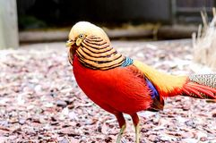 Golden Pheasant, Chrysolophus pictus Royalty Free Stock Image