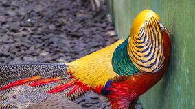 Golden pheasant, Chrysolophus pictus,. In a zoo in Wolfurt in Vorarlberg, Austria Royalty Free Stock Photos