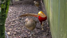Golden pheasant, Chrysolophus pictus,. In a zoo in Wolfurt in Vorarlberg, Austria Stock Photography