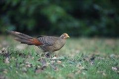 Golden pheasant, Chrysolophus pictus,. Juvinle male, Kew Gardens, London Stock Images