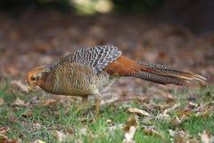 Golden pheasant, Chrysolophus pictus, Royalty Free Stock Photography