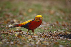 Golden pheasant, Chrysolophus pictus, Stock Photos