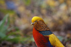 Golden pheasant, Chrysolophus pictus, Stock Image
