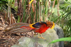 Golden pheasant  Chrysolophus pictus  in the natur. E background Stock Photo