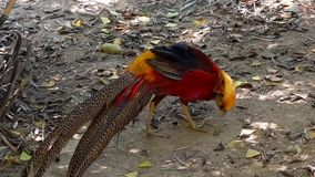 Golden pheasant (Chrysolophus pictus) Stock Images