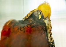 Golden Pheasant Chrysolophus pictus Stock Photos