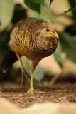 Golden Pheasant (Chrysolophus Pictus). This is a walking female of a chinese pheasant Stock Photo